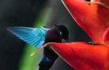 A male purple-throated carib feeds at a Heliconia bihai inflorescence on the island of Dominica, in the West Indies. (Geoff Giller)