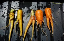 Organic, unmodified carrots grown by the farm at Hell's Backbone Grill, Utah. (Photo by Benjamin Goldfarb.)