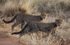 A pair of five month old cheetah cubs in Kenya. Photo by Mary Wykstra.