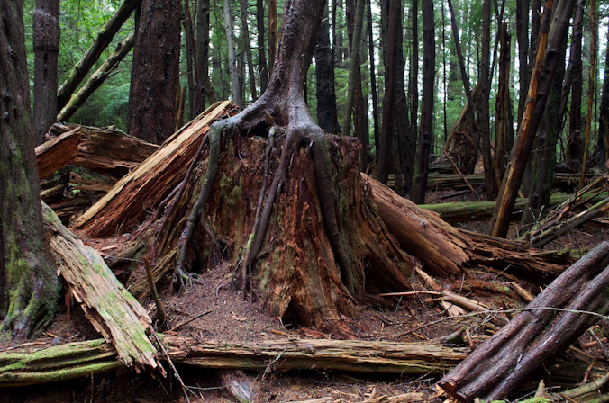 Unmanaged forest grove in Sitka National Historical Park