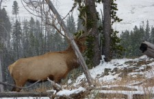 Fed Up: Cultivating Elk and Acrimony in Wyoming