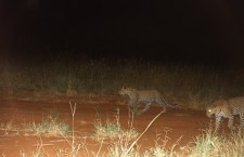 A leopardess and her cub caught on a camera trap.