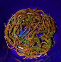 A-bucket-full-of-Aegean-wall-lizards.-300x199