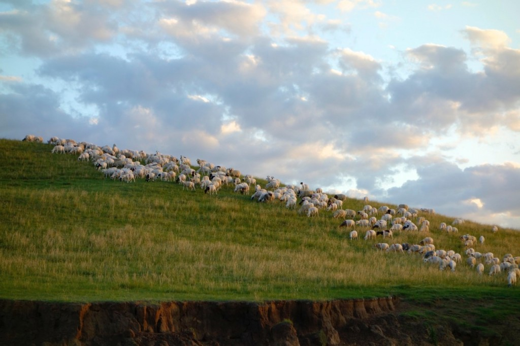 Sheep and goats grazing on a hill near my research plots.
