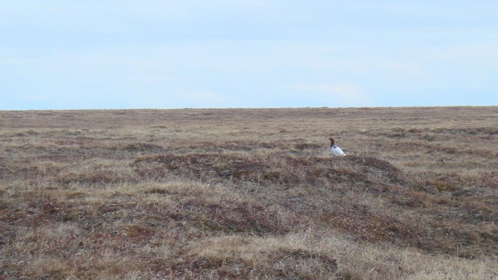 A Ptarmigan on the tundra.  Photo courtesy of the author.