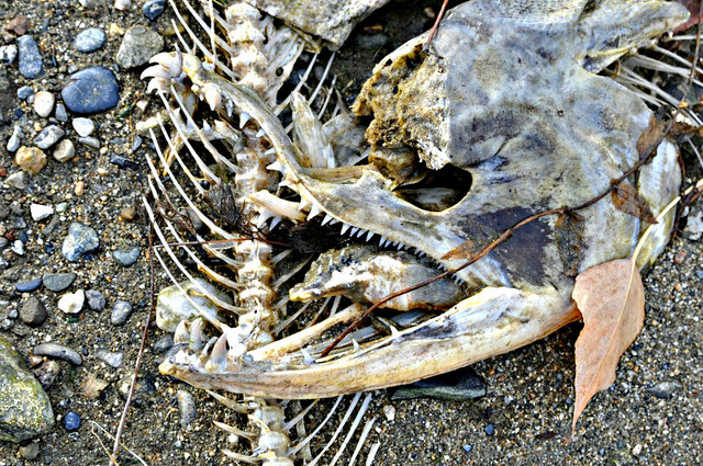 The skeleton of a spawned out salmon rests on the bank of the Columbia River. Photo courtesy of NOAA Fisheries West Coast. CC BY-NC-ND 2.0.