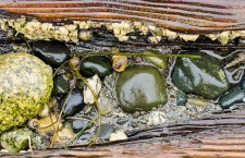 Intertidal invertebrates in a rotting log on Boundary Bay beach. Photo by Susannah Anderson.