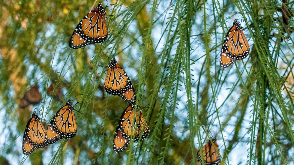 Danaus gilippus, Queen butterflies on retama [PHOTO CREDIT: National Butterfly Center]