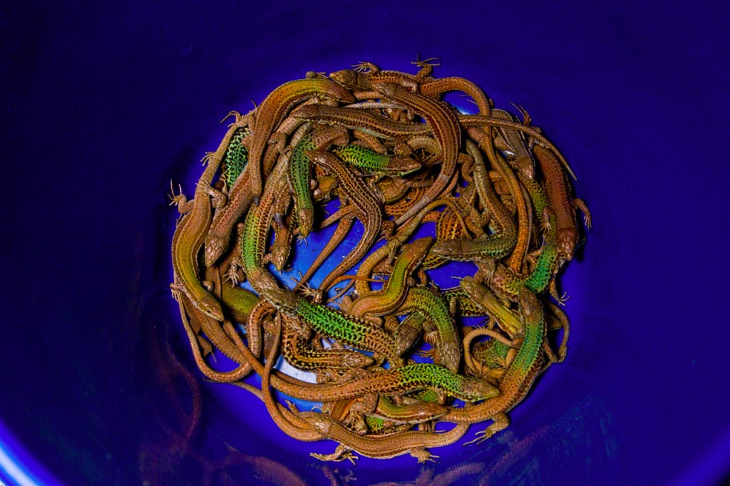 A bucket full of Aegean wall lizards.