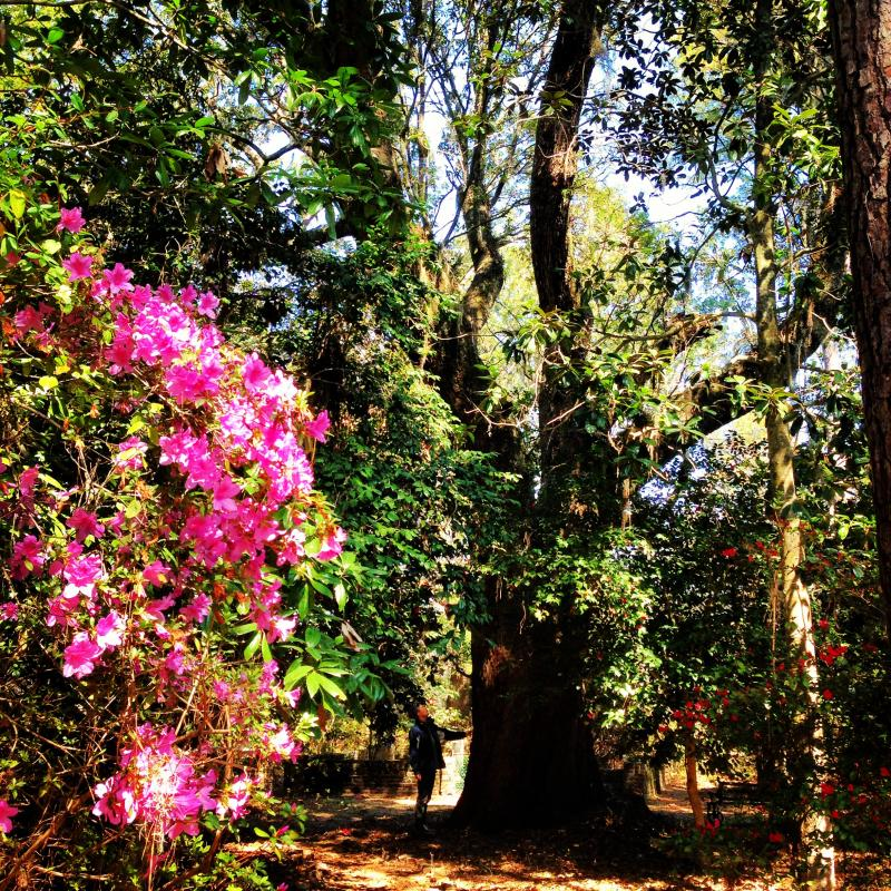 Azalea, Live Oak, and Holly, at Hampton Plantation State Park near McClellanville, South Carolina