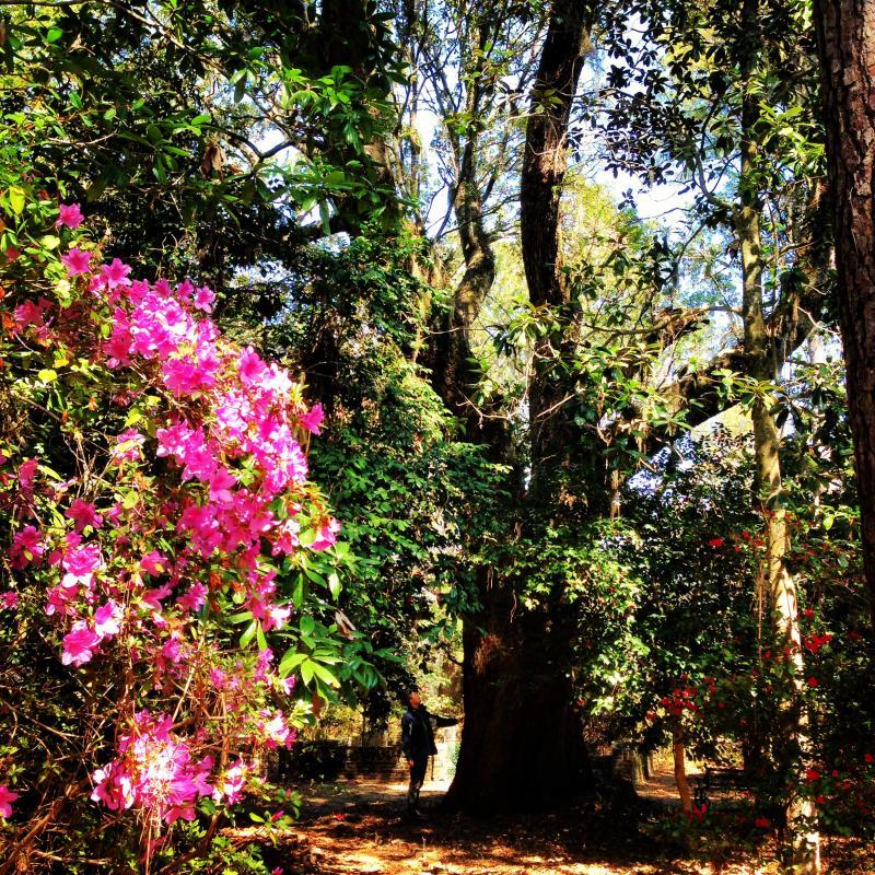 Azalea, Live Oak, and Holly, at Hampton Plantation State Park near McClellanville, South Carolina
