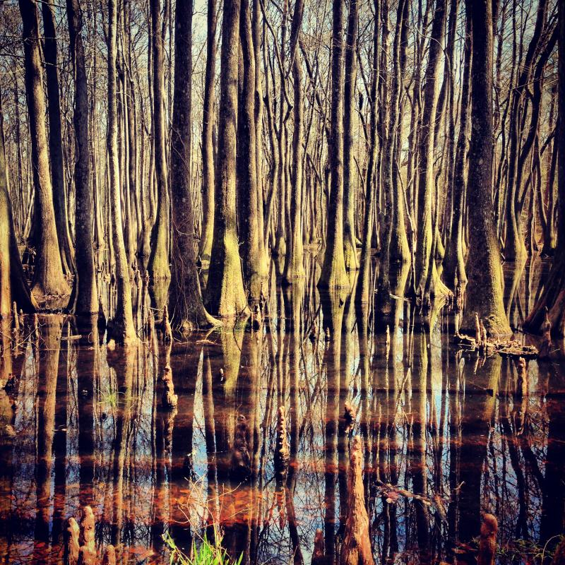 Cypress Swamp in Francis Marion National Forest near McClellanville, South Carolina