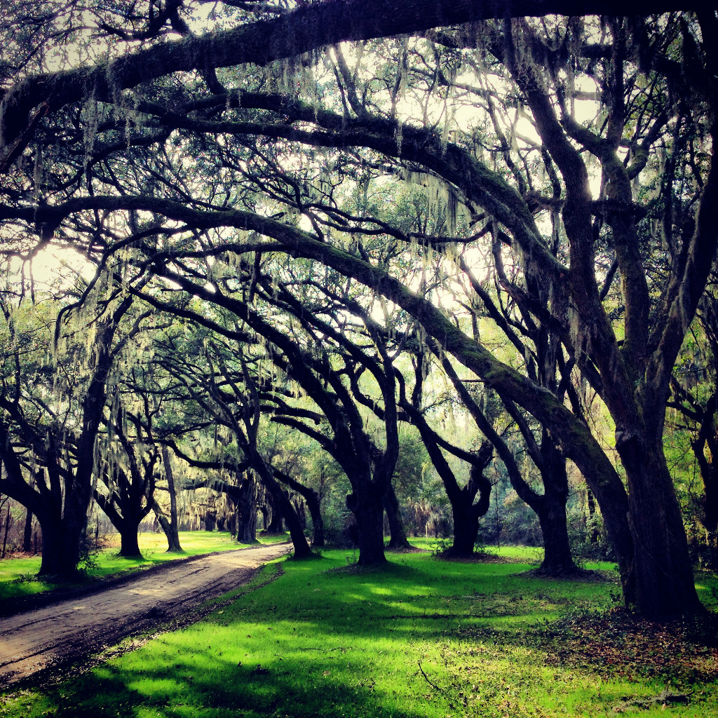 Live Oaks at Santee Coastal Reserve near McClellanville, South Carolina