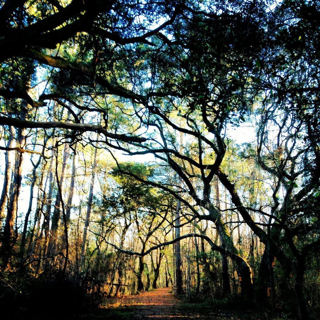 Live Oaks and Cypresses at Santee Coastal Reserve near McClellanville, South Carolina