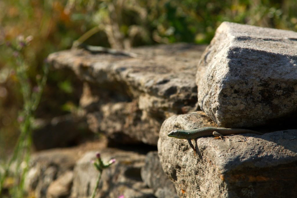 One of Colin's aptly named Aegean wall lizards.
