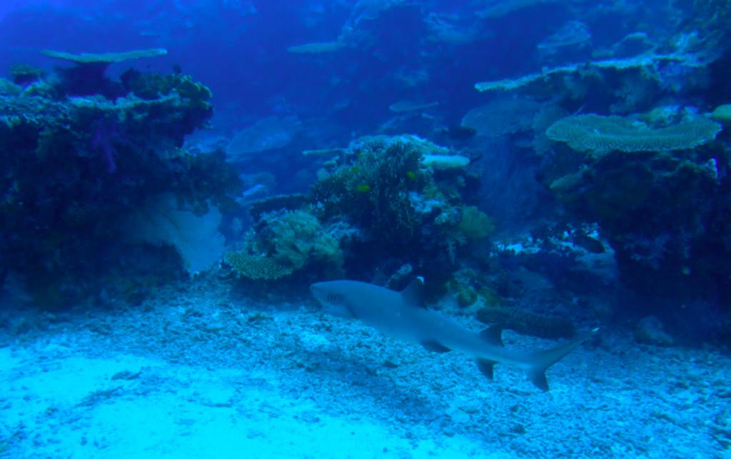 A white tip reef shark cruises amongst the corals